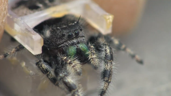 Cornell University Research Team Devises a Miniscule 3D Printed Spider Harness