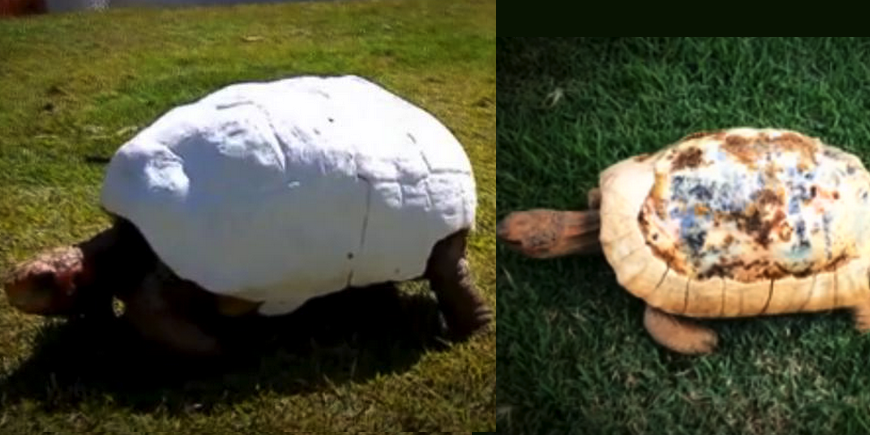 Fred the Tortoise Receives a 3D Printed Shell After a Horrific Fire Destroys His Original