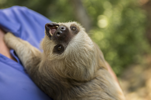 CT Scans and 3D Printed Model Help Kodiak the Two-Toed Sloth Fix His Smile