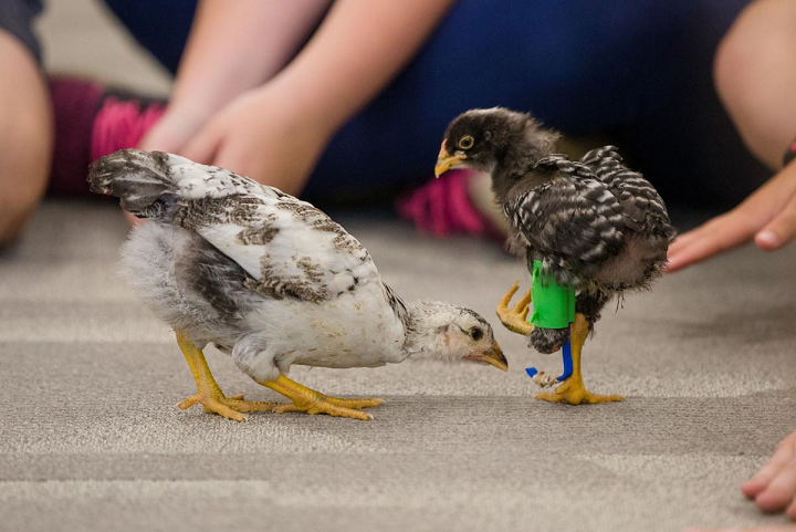 Students Use Creativity, STEM Education, and 3D Printing to Create Prosthetic Leg For Baby Chick