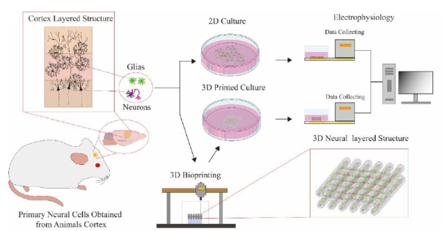 Chinese language Researchers Maintain Bioprinted Mind Cells for 4 Weeks 2